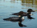 Loon Project Database by Walter H. Piper